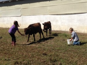 Here the kids are feeding two of the younger calves.