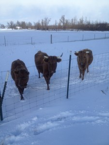 Our Dexter cows always love to watch what we are doing.