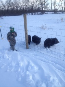 We added two girl pigs.  We hope to have some piglets this year.  These are American Guinea Hogs.
