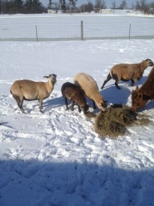 The Blackbelly Sheep herd, We added a Ram to the herd.